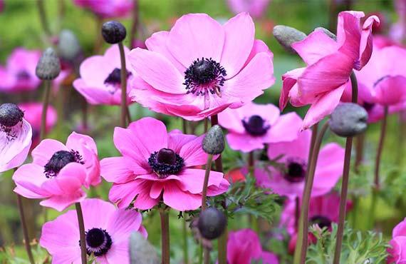 цветы луковичные