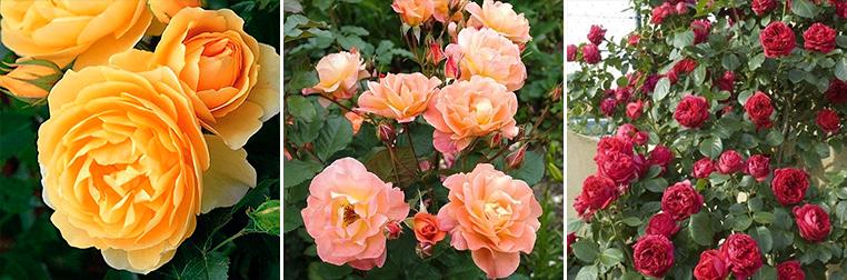 Паркові тороянди