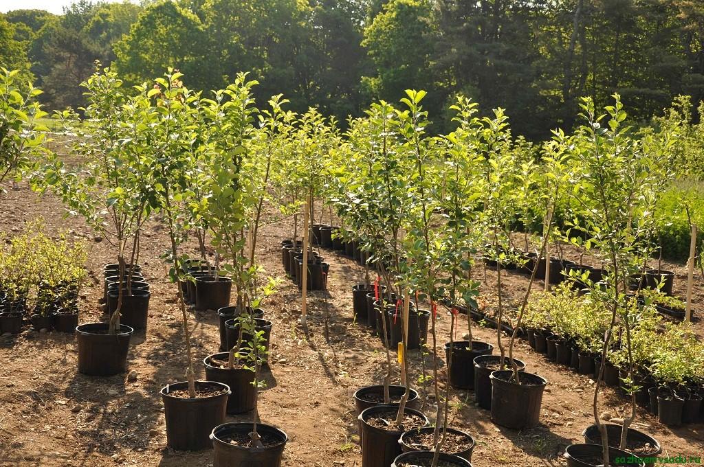 Посадка плодових дерев