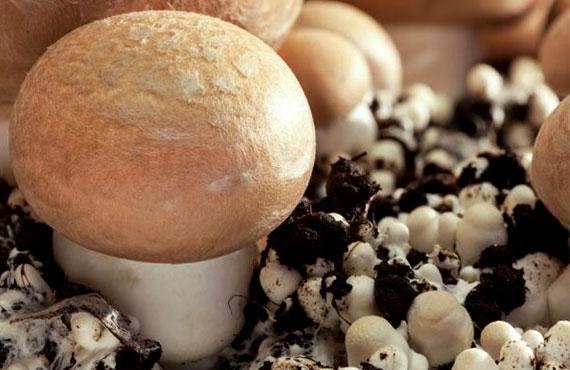 Мицелий грибов купить