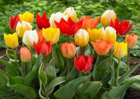 Тюльпани Фостера