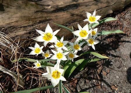 Ботанічні тюльпани двоколірні