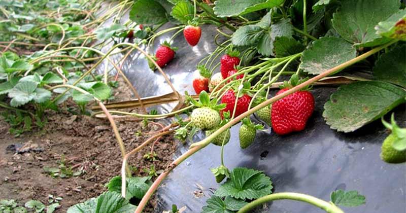 Уход за земляникой садовой в июне