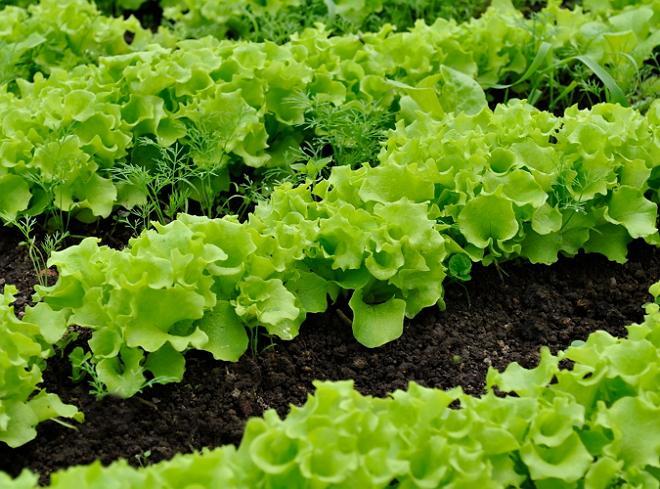 Выращивание салата в сентябре 17