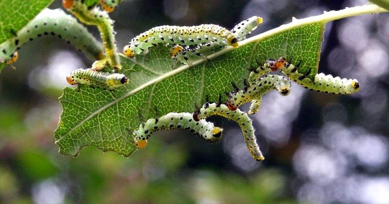 Боротьба з гусеницями