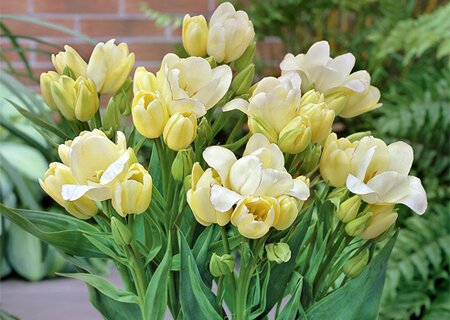 Многоцветковый тюльпан