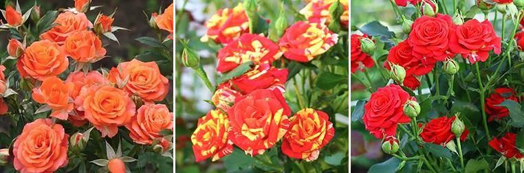 Дрібноквіткові троянди