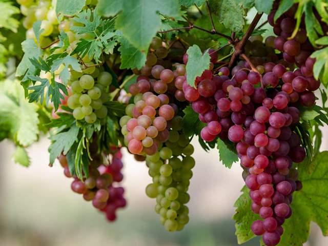 Саджанці винограду купити
