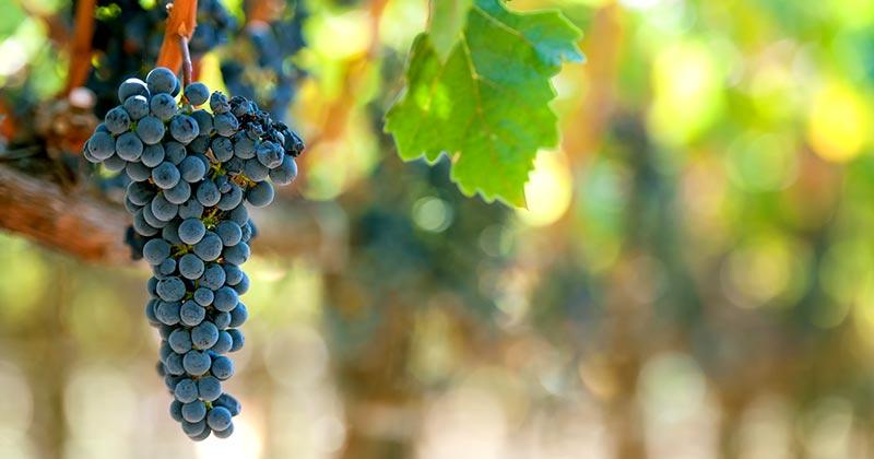 Полив винограда